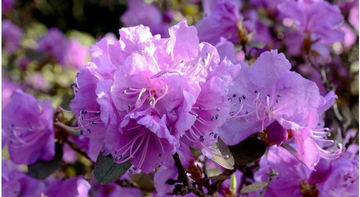 Wir stellen vor Den Rhododendron