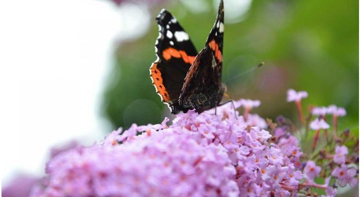 Jetzt zurückschneiden: Der Schmetterlingsstrauch