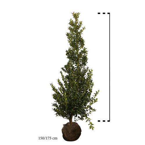 Stechpalme 'Alaska'  Wurzelballen 150-175 cm Extra Qualtität