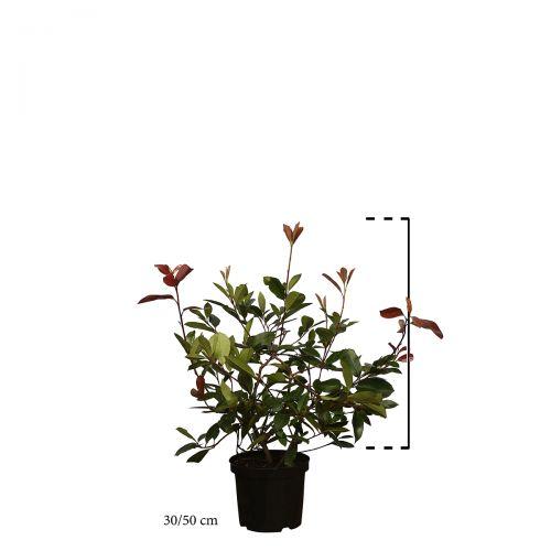 Glanzmispel 'Red Robin' Topf 30-50 cm