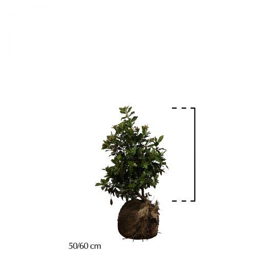 Lorbeerschneeball  Wurzelballen 50-60 cm