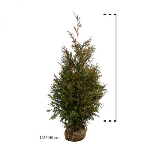 Lebensbaum 'Excelsa' Wurzelballen 125-150 cm