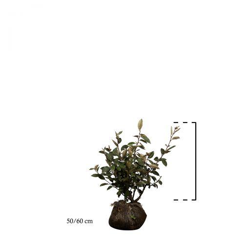 Wintergrüne Ölweide Wurzelballen 50-60 cm