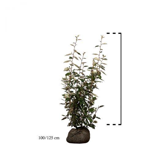 Wintergrüne Ölweide Wurzelballen 100-125 cm