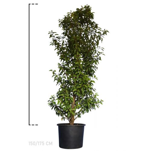 Portugiesischer Kirschlorbeer  Topf 150-175 cm Extra Qualtität