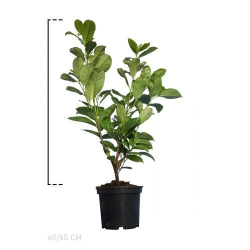 Großblättriger Kirschlorbeer  Topf 40-60 cm