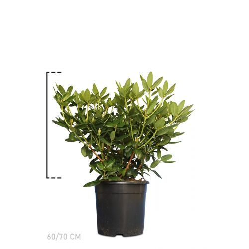Rhododendron 'Catawbiense Grandiflorum'   Topf 60-70 cm Extra Qualtität