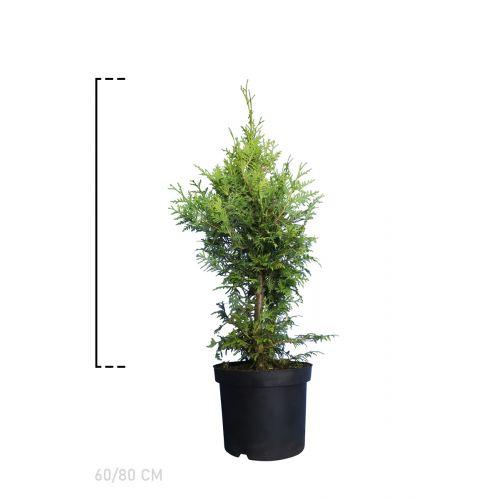 Lebensbaum 'Brabant' Topf 60-80 cm