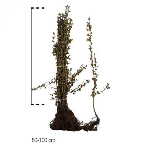 Eingriffeliger Weißdorn  Wurzelware 80-100 cm