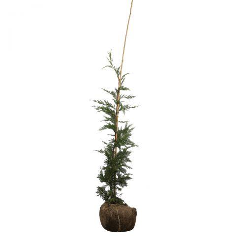 Grüne Leyland-Zypresse Wurzelballen 100-125 cm