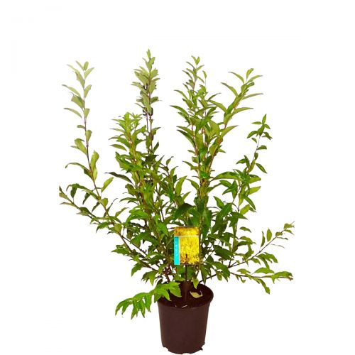 Forsythie 'Spectabilis'  Topf 60-80 cm Extra Qualtität