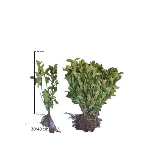 Kirschlorbeer 'Genolia'® Wurzelware 30-40 cm
