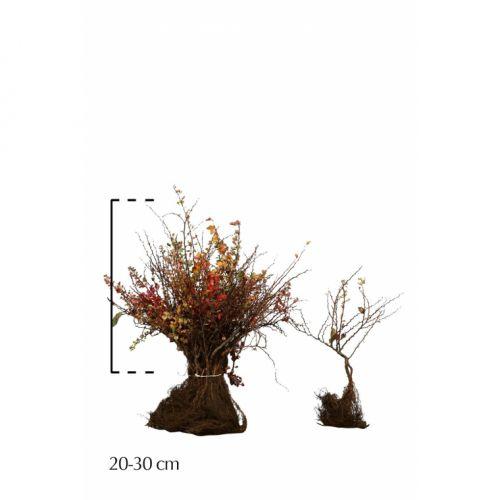 Berberitze Wurzelware 20-30 cm