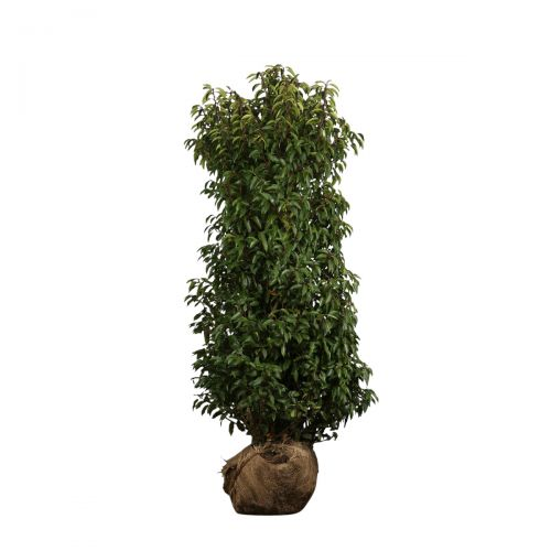 Portugiesischer Kirschlorbeer  Wurzelballen 150-175 cm Extra Qualtität