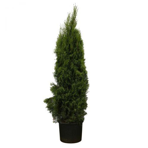 Lebensbaum 'Smaragd'  Topf 160-180 cm Extra Qualtität