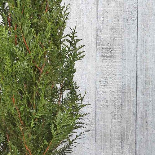 Riesen-Lebensbaum 'Atrovirens'