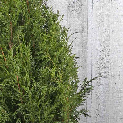 Riesen-Lebensbaum 'Martin'
