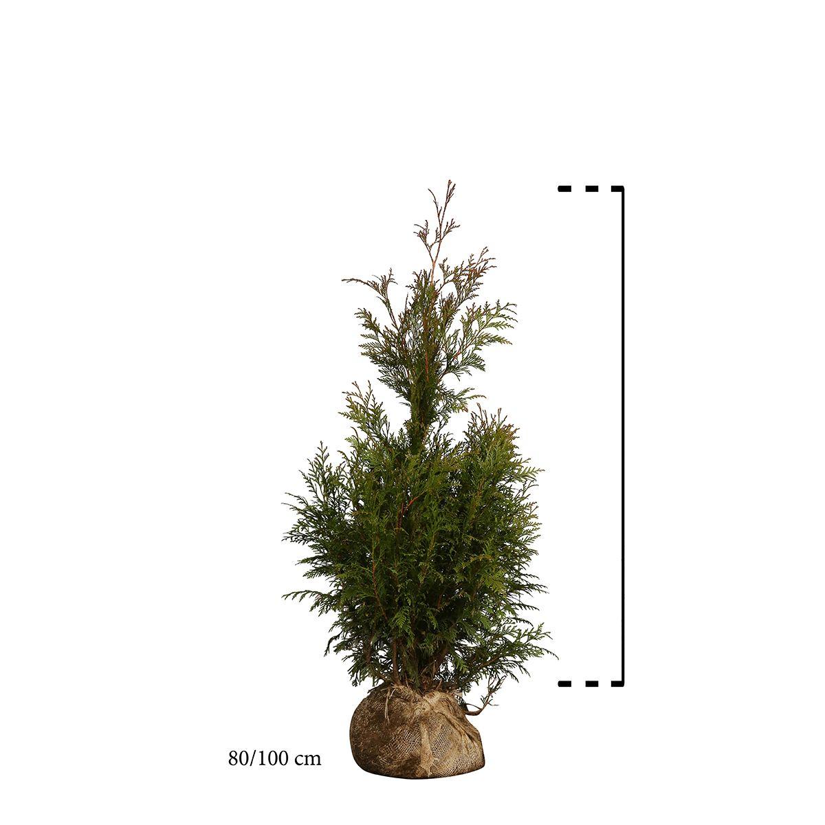 Lebensbaum 'Martin' Wurzelballen 80-100 cm