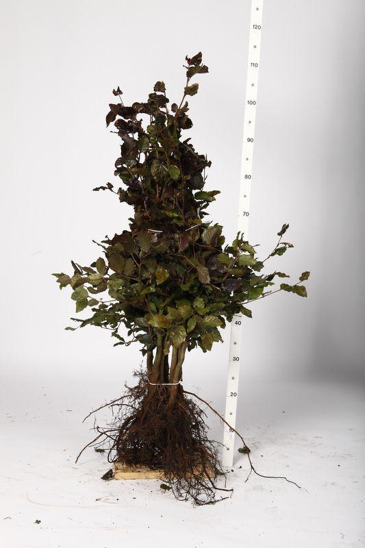 Blutbuche   Wurzelware 60-80 cm