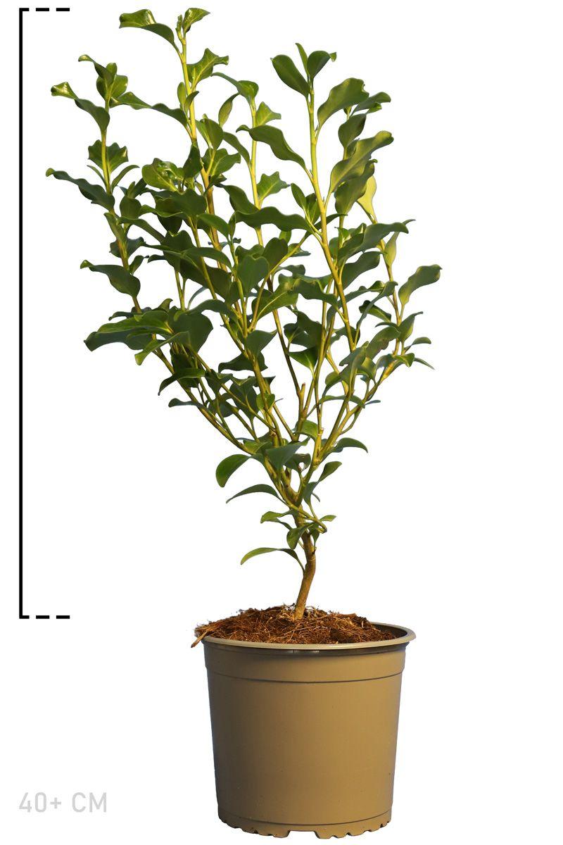 Griselinia littoralis Topf 40+ cm
