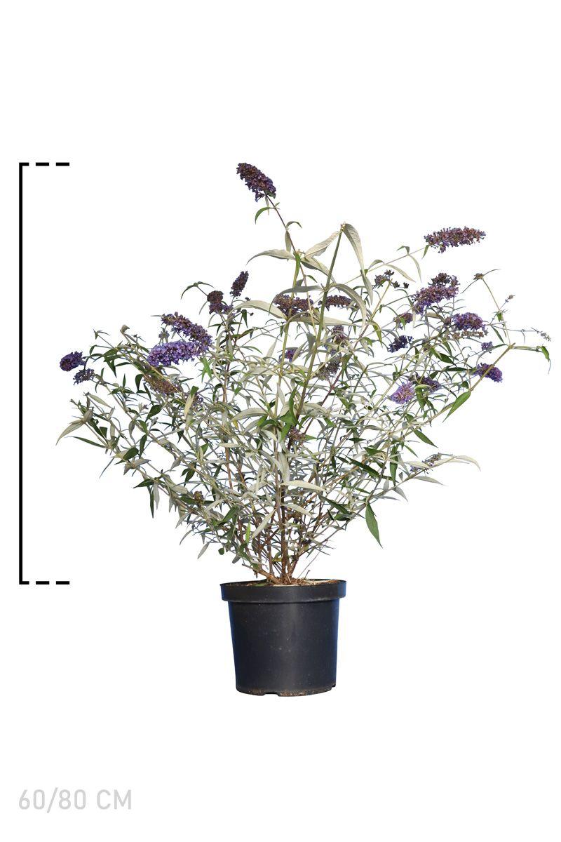 Schmetterlingsstrauch 'Nanho Blue'  Topf 60-80 cm