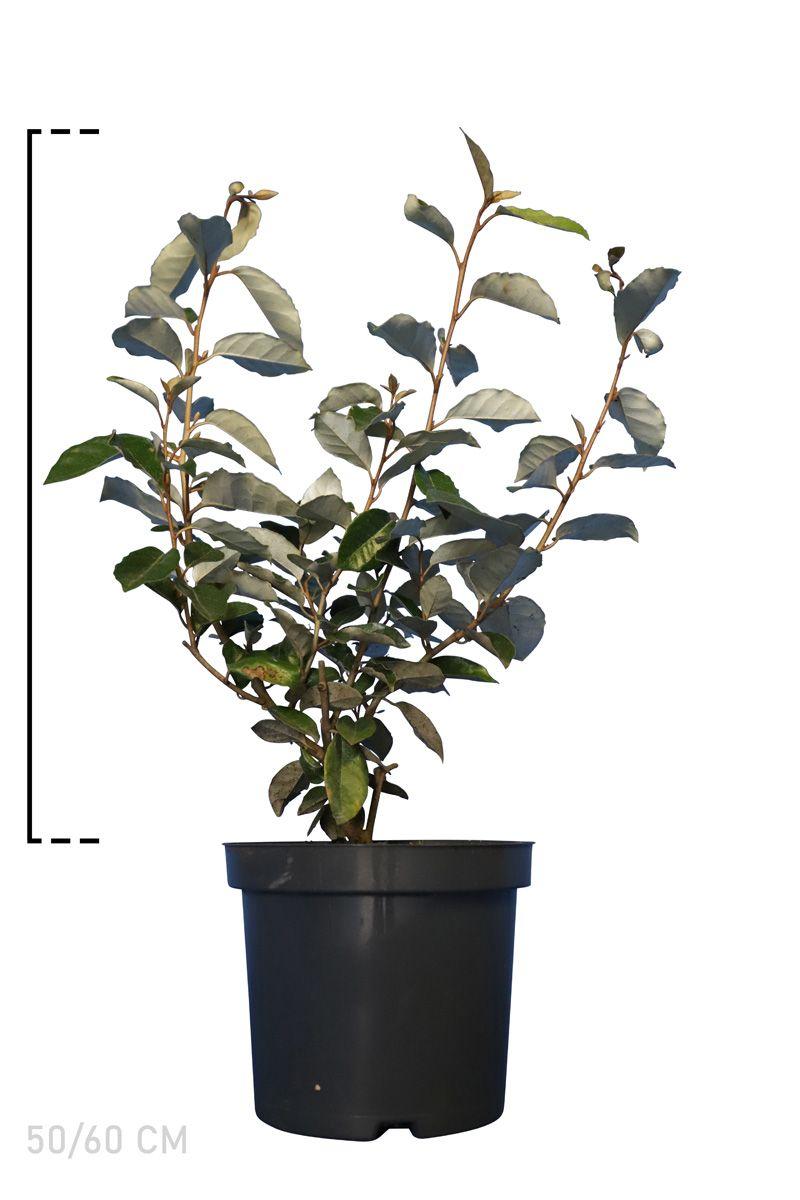Wintergrüne Ölweide Topf 50-60 cm