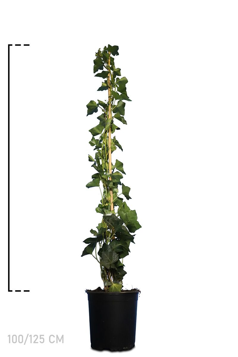 Irischer Efeu  Topf 100-125 cm