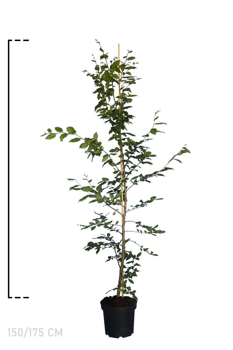 Hainbuche, Weißbuche  Topf 150-175 cm Extra Qualtität