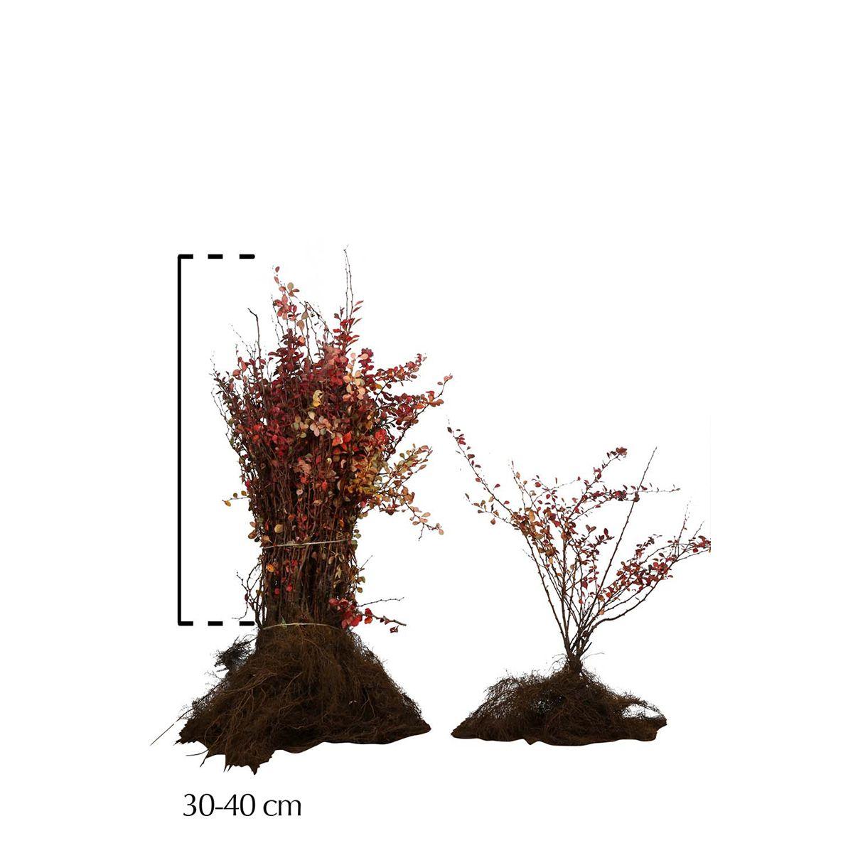 Blutberberitze  Wurzelware 30-40 cm