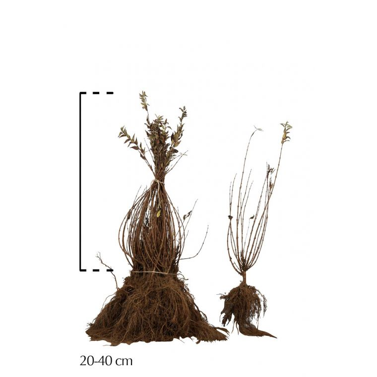 Zierliche Deutzie Wurzelware 20-40 cm