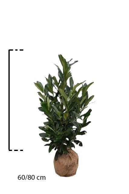 Kirschlorbeer 'Elly'® Wurzelballen 60-80 cm