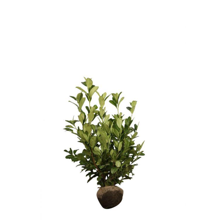 Großblättriger Kirschlorbeer  Wurzelballen 80-100 cm Extra Qualtität