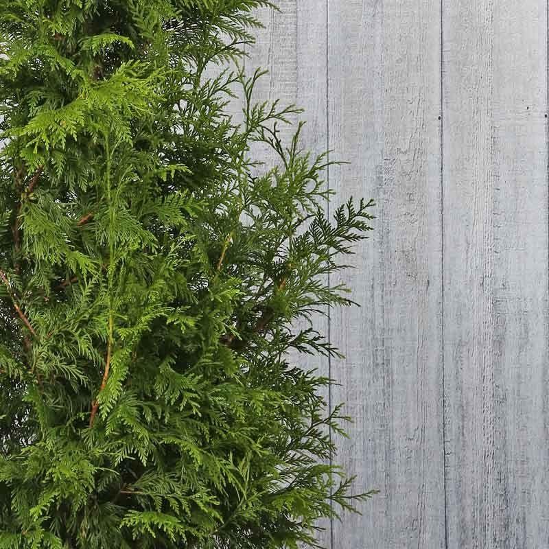 Riesen-Lebensbaum 'Excelsa'