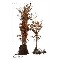 Rotbuche  Wurzelware 100-125 cm Extra Qualtität