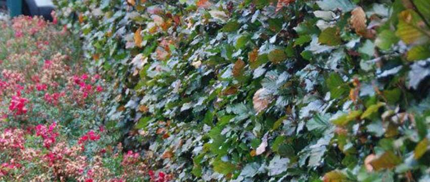 Buchenhecke pflanzen