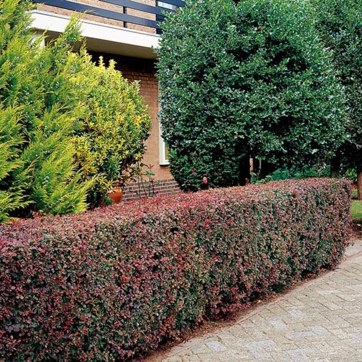 Berberitze pflanzen und pflegen