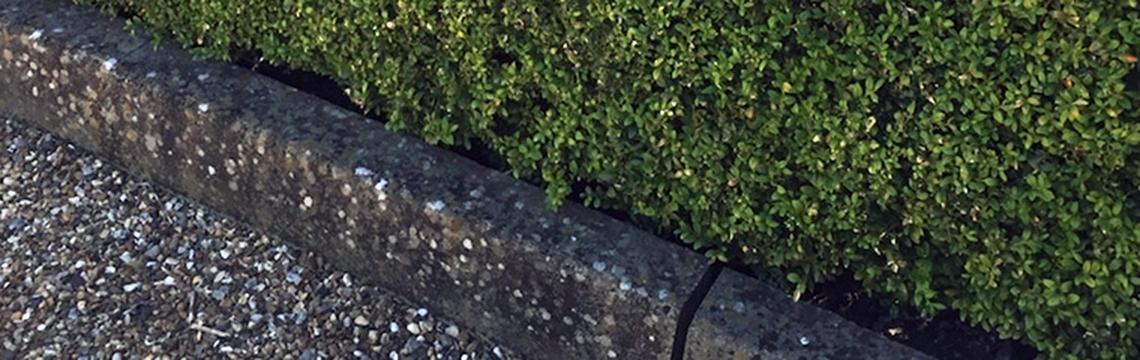 Buchsbaum Heckenonline.de bestellen