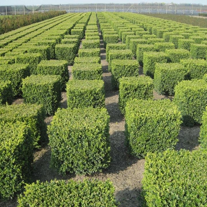 Buchsbaumhecke nach dem Pflanzen