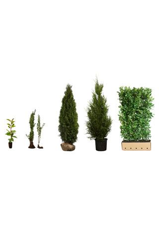 Heckenpflanzen online