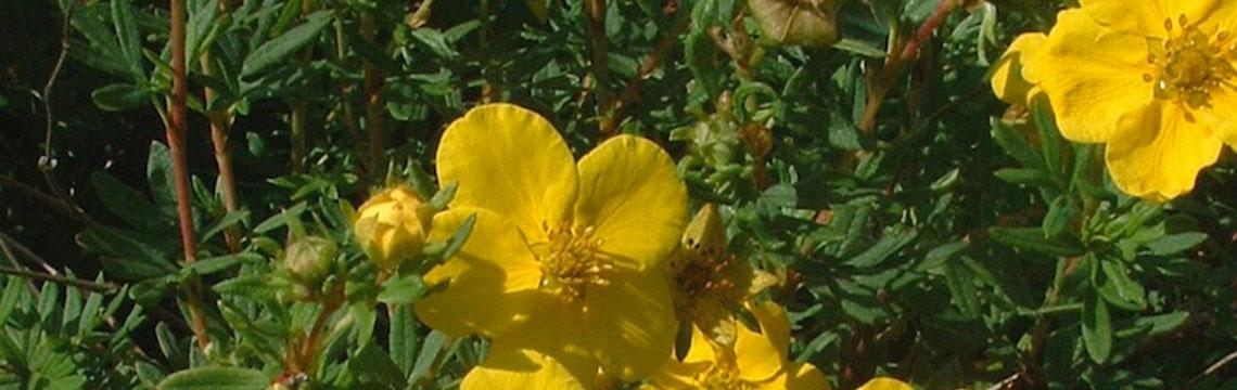 Heckenpflanzen für den Vorgarten online bestellen