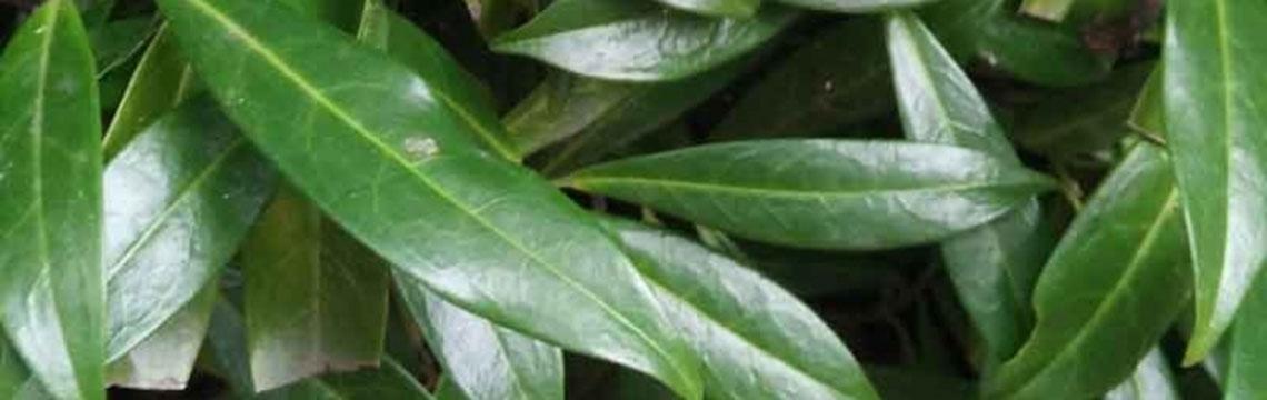 Kirschlorbeer-Hecke als Fertig-Hecke