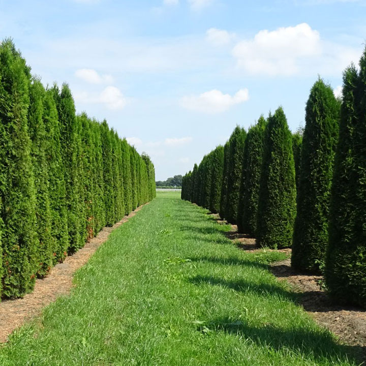 Lebensbaum-Hecke (oder Thuja-Hecke)