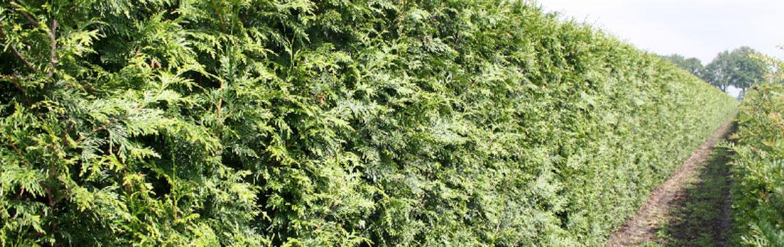 Lebensbaum-Hecken als Fertig-Hecken online bestellen