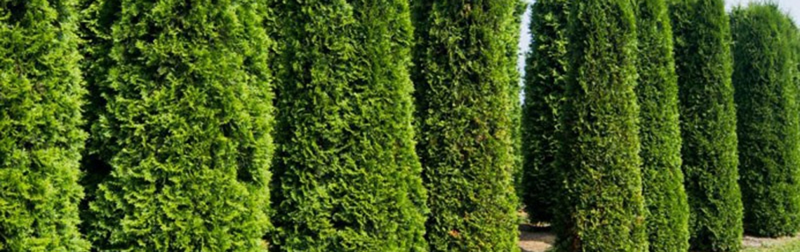 Lebensbaumhecke pflanzen und schneiden