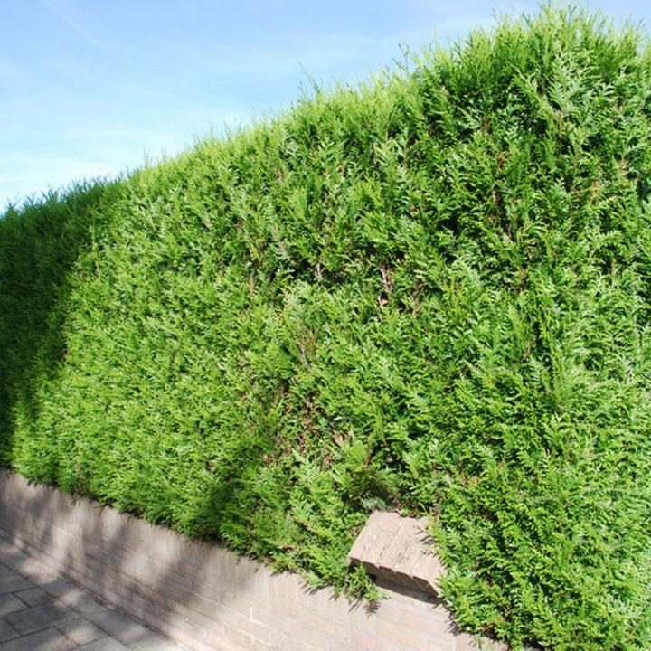 Lebensbaumhecke pflanzen wie