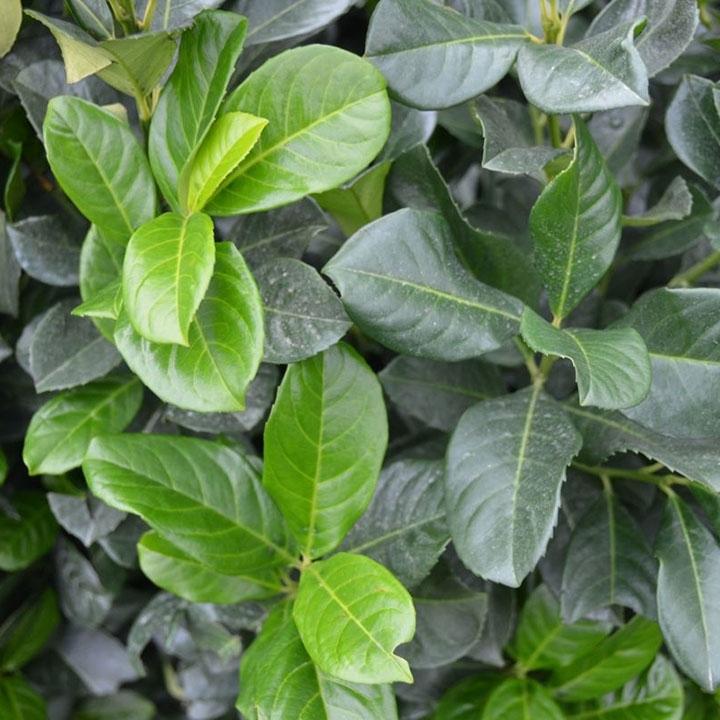 Prunus-Arten