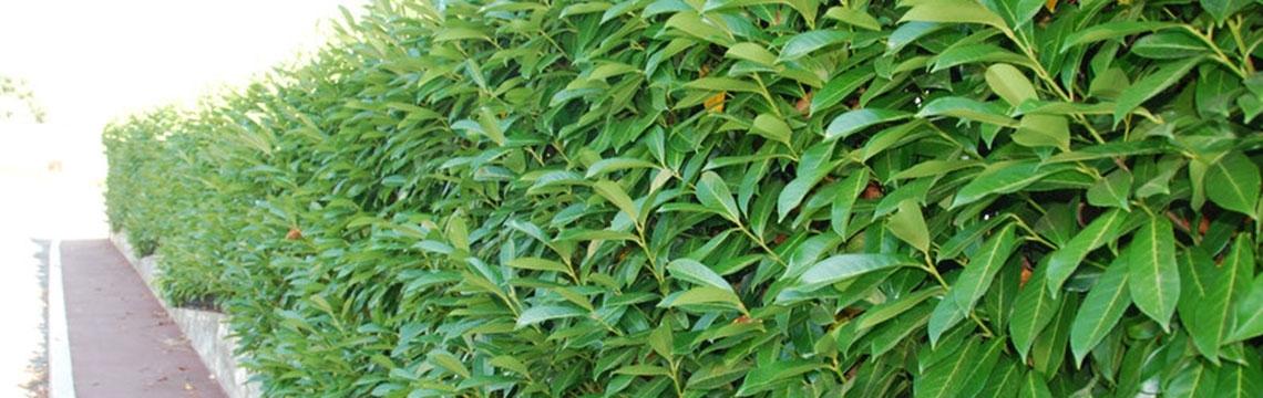 Prunus online kaufen auf Heckenonline.de