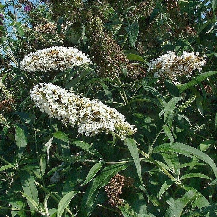 Schmetterlingsstrauch-Hecke online