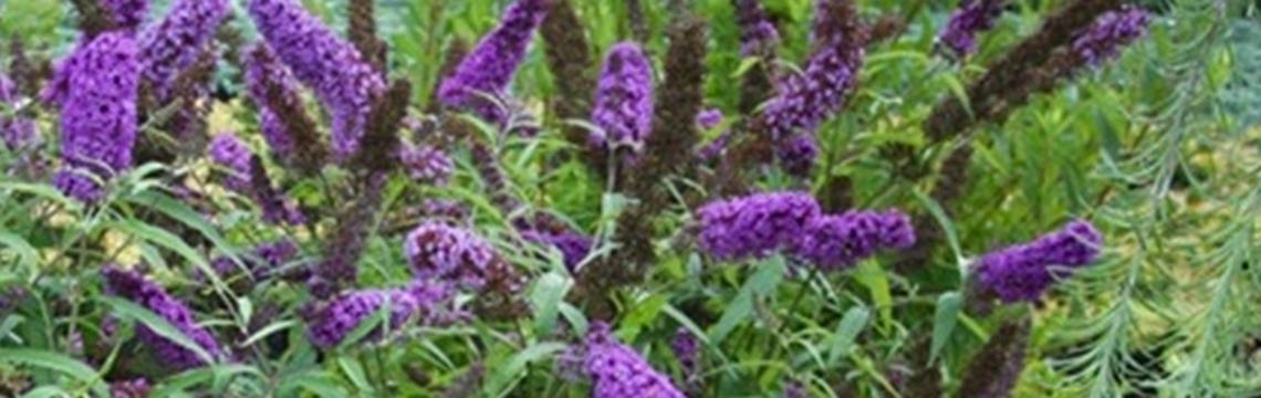 Schmetterlingsstrauch-Hecke in den Boden pflanzen