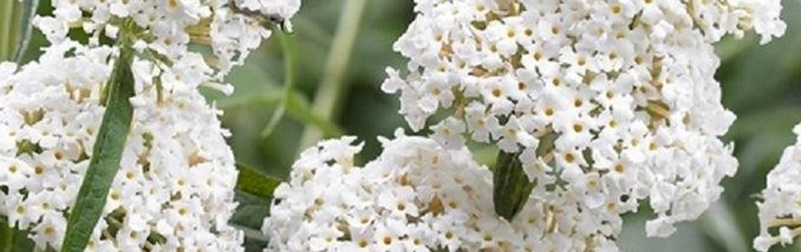 Schmetterlingsstrauch-Hecke pflanzen